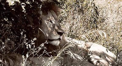 Photograph - Lion by Tina Broccoli