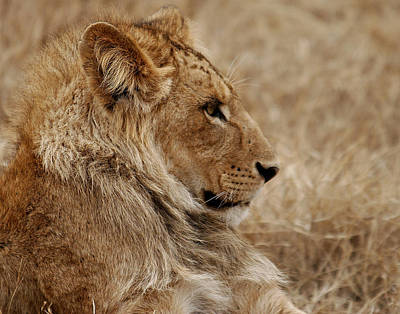 Photograph - Lioness by C Ribet