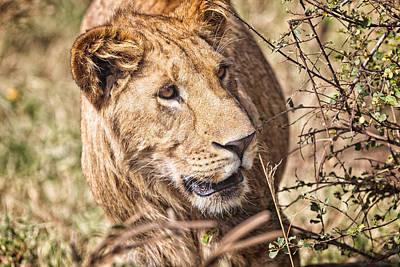 Photograph - Lioness Hiding by Perla Copernik