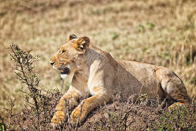 Photograph - Lioness Relaxing by Perla Copernik