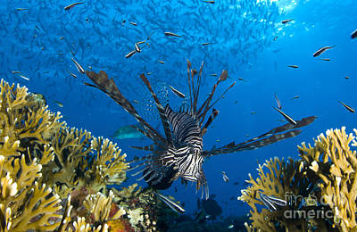 Photograph - Lionfish Foraging Amongst Corals by Steve Jones