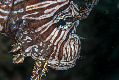 Photograph - Lionfish Portrait by Jean Noren