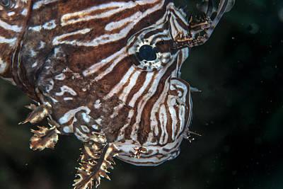 Photograph - Lionfish Portrait by Jean Noren