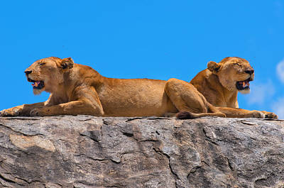 Photograph - Lions by Michel Legare