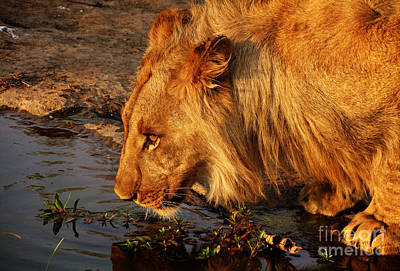 Photograph - Lion's Pride by Andrew Paranavitana
