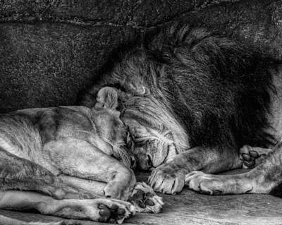 Lions Sleep Tonight Art Print