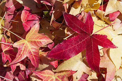 Vivid Fall Colors Photograph - Liquidambar Autumn by Heidi Smith