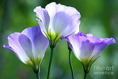 Photograph - Lisianthus Number 5 by Byron Varvarigos