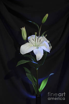 Photograph - Lit Lily by Balanced Art