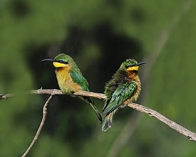 Photograph - Little Bee-eaters by Tony Beck