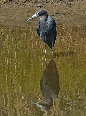 Photograph - Little Blue Heron Assateague Island by Lara Ellis