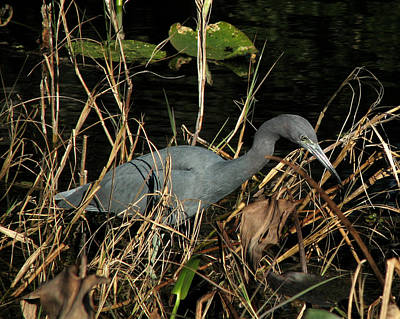 Photograph - Little Blue Heron by Peg Urban