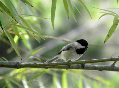 Photograph - Little Chickadee by Judy Wanamaker