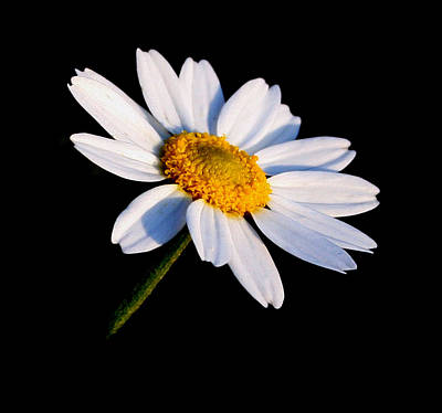 Little Daisy Art Print by Karen Harrison