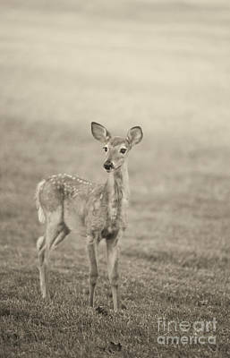Photograph - Little Fawn by Cheryl Davis