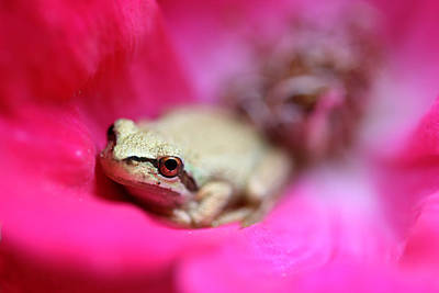 Photograph - Little Frog In Red Rose Flower II by Jennie Marie Schell