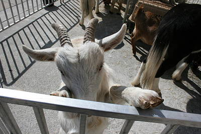 Photograph - Little Goat by Stephen Hawks