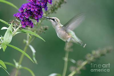Photograph - Little Hummer by Living Color Photography Lorraine Lynch