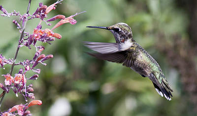 Photo Royalty Free Images - Little Hummer Royalty-Free Image by Pam  Holdsworth