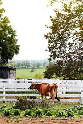 Little Jersey Cow Art Print by Stephanie Frey