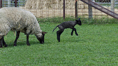 Photograph - Little Lamb Playing by LeeAnn McLaneGoetz McLaneGoetzStudioLLCcom