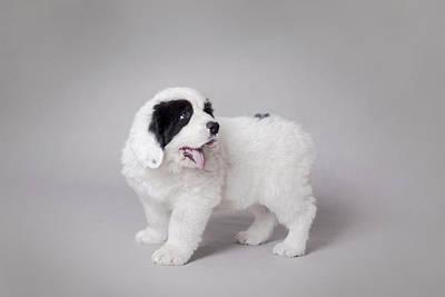 Little Landseer Puppy Portrait Art Print by Waldek Dabrowski
