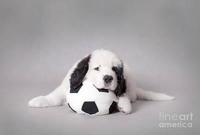 Newfoundland Puppy Photograph - Little Landseer Puppy With Soccer Ball Portrait by Waldek Dabrowski