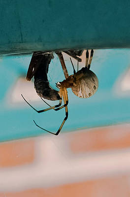 Black Widow Spider Photograph - Little Miss Venom by DigiArt Diaries by Vicky B Fuller