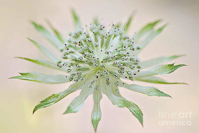 Astrantia Photograph - Little Moira by Jacky Parker