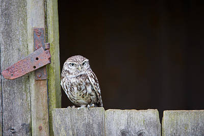 Barn In The Woods Photograph - Little Owl, Athene Noctua, On Barn Door, Norfolk by Mike Powles