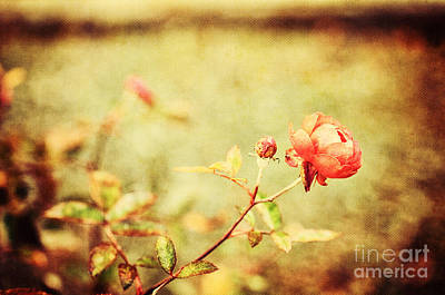 Photograph - Little Pink Rose by Silvia Ganora