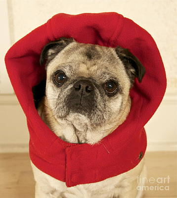 Little Red Riding Pug Art Print by Cindy Lee Longhini