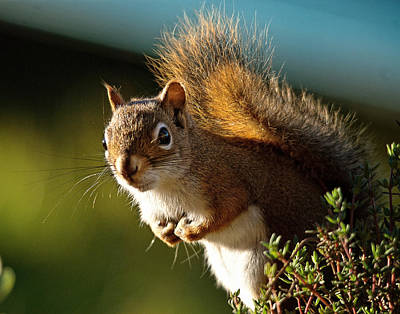 Squirrel Photograph - Little Red by Susan Capuano