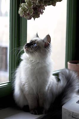 Photograph - Little Siberian Kitty by Raffaella Lunelli