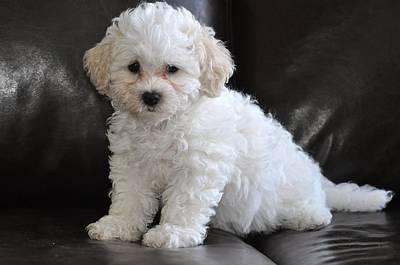 Dog In Landscape Photograph - Little White Puppy by Lisa  DiFruscio