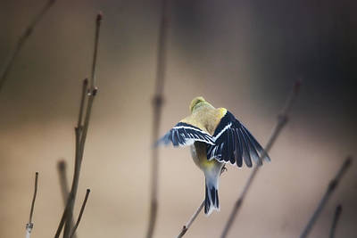 Goldfinch Wall Art - Photograph - Little Wings by Susan Capuano