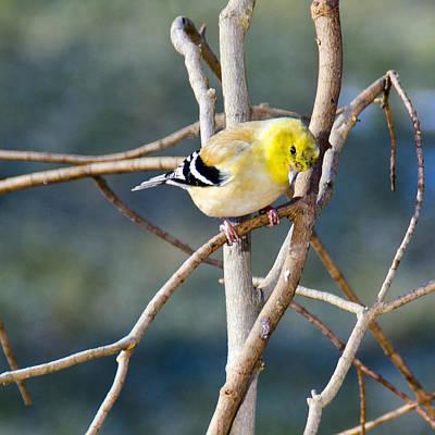 Canary Photograph - Little Yellow Bird Yellow Finch by LeeAnn McLaneGoetz McLaneGoetzStudioLLCcom