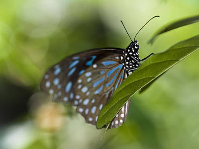 Photograph - Liuchiou Blue Spotted Milkweed Butterfly by Zoe Ferrie