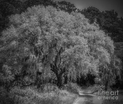 Photograph - Live Oak And Trail by David Waldrop