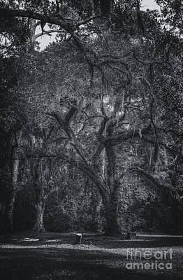 Photograph - Live Oak At Old Sheldon Church by David Waldrop