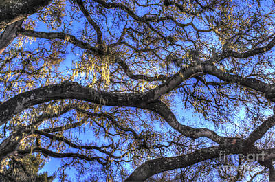 Photograph - Live Oak Branches 2 by Morgan Wright