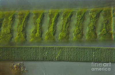 Nic Photograph - Living Spirogyra And Oscillatori, Nic by M. I. Walker