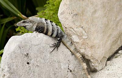 Iguana Wall Art - Photograph - Lizard by Blink Images