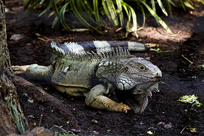 Photograph - Lizard In Zoo by Trudy Wilkerson