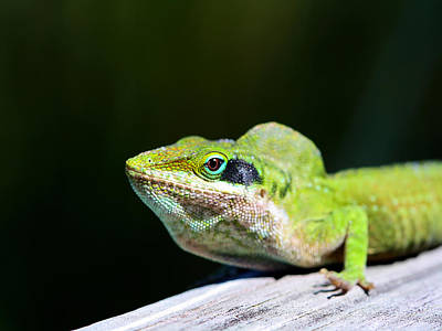 Photograph - Lizard by Jenny Ellen Photography