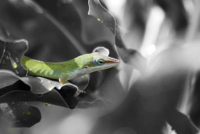 Photograph - Lizard Selective Coloring by Jeanne Andrews
