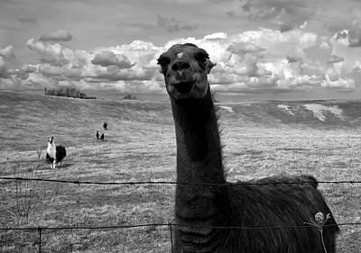 Llama Art Print by Cale Best