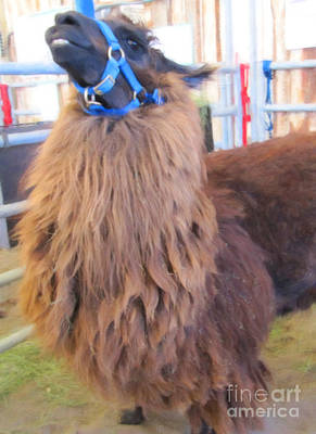 Photograph - Llama Ready To Spit by Donna Munro