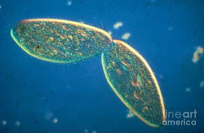 Lm Of Paramecium Caudatum In Cell Art Print by Eric Grave