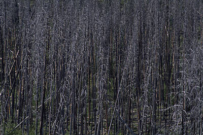 Lodgepole Snags Verge On Collapse Art Print